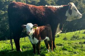 A 2-yr heifer & her calf
